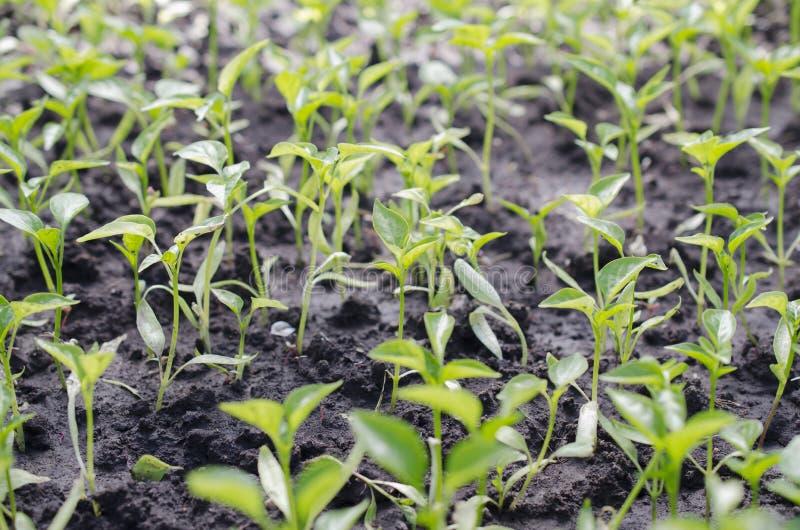 户外宏观胡椒plantlets 选择聚焦 免版税库存图片