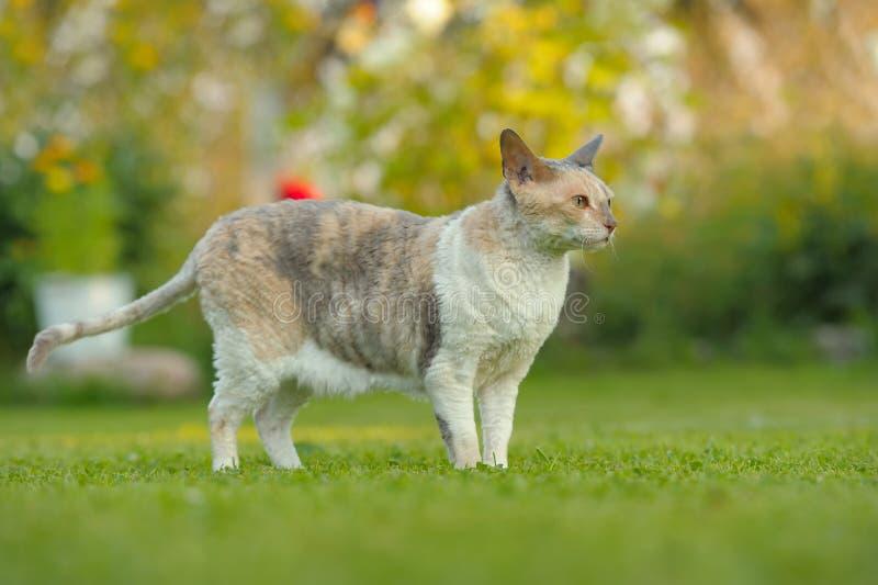 户外康沃尔雷克斯猫在绿色草坪在夏天 库存照片