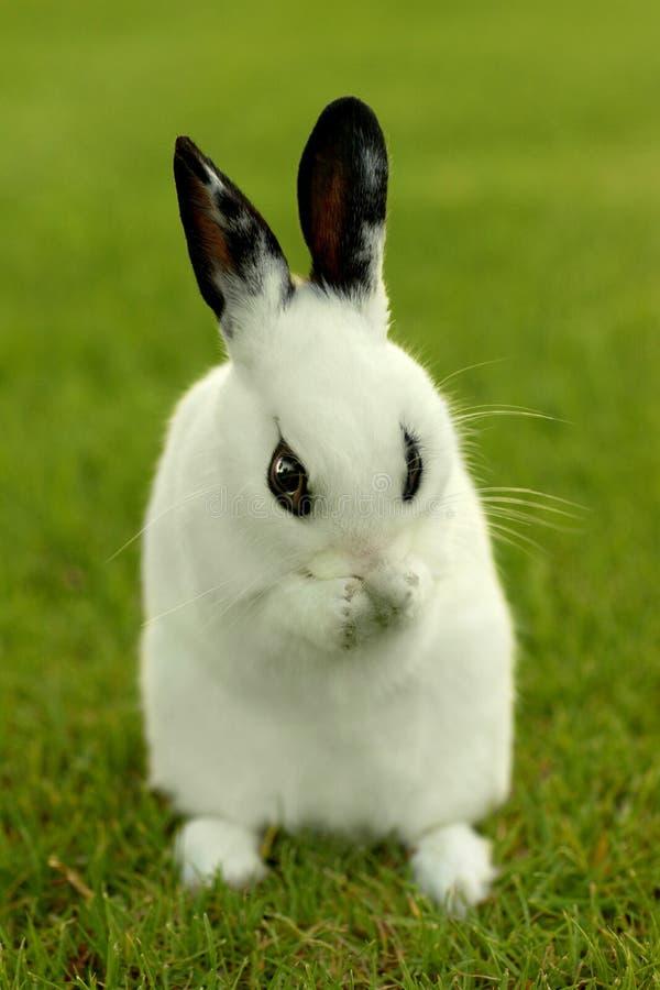 户外白色小兔在草 免版税库存图片
