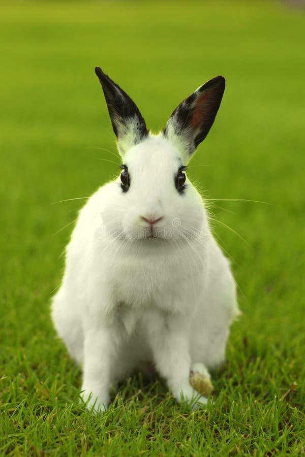 户外白色小兔在草 库存图片