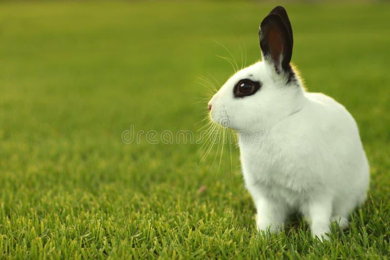 户外空白小兔在草 免版税库存图片
