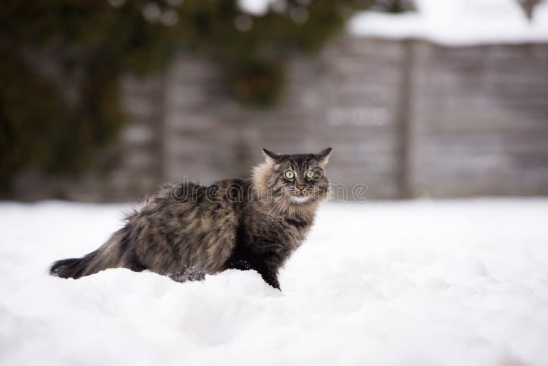 户外虎斑猫在冬天 免版税库存照片