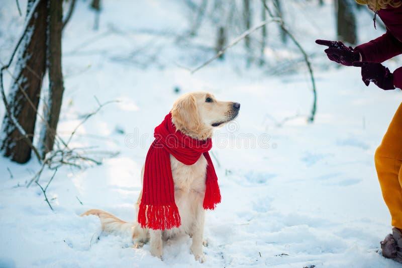 户外金毛猎犬宠物在冬时 库存图片