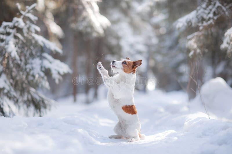 户外活跃和美丽的狗品种起重器罗素狗 免版税库存照片