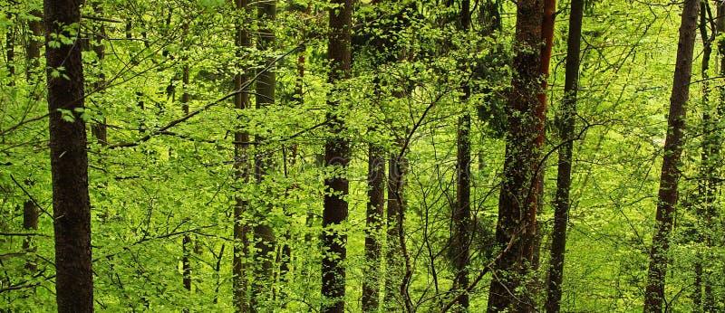 所有山毛榉丹麦深绿色叶子点燃在春天 库存照片