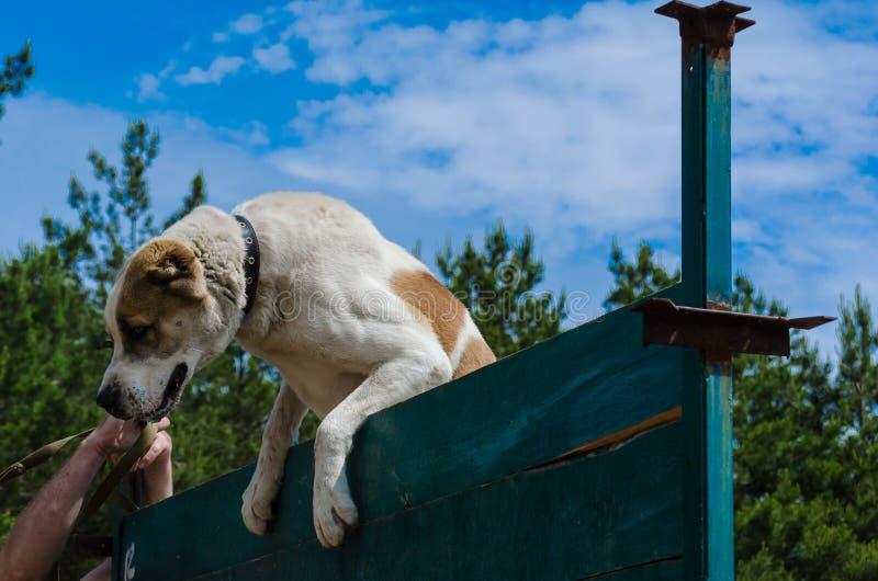 所有者和狗的第一次胜利在克服墙壁 中间Alabay护羊狗Alabai攀登通过一非常高woode 免版税库存照片