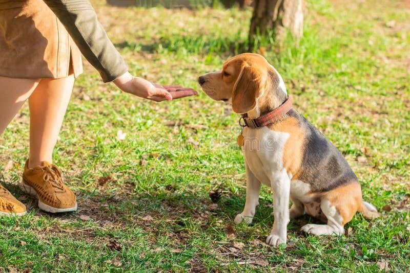 所有者给一种款待步行的小猎犬狗在公园 免版税库存图片