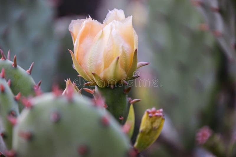 所选的仙人掌接近的花重点phpto 图库摄影