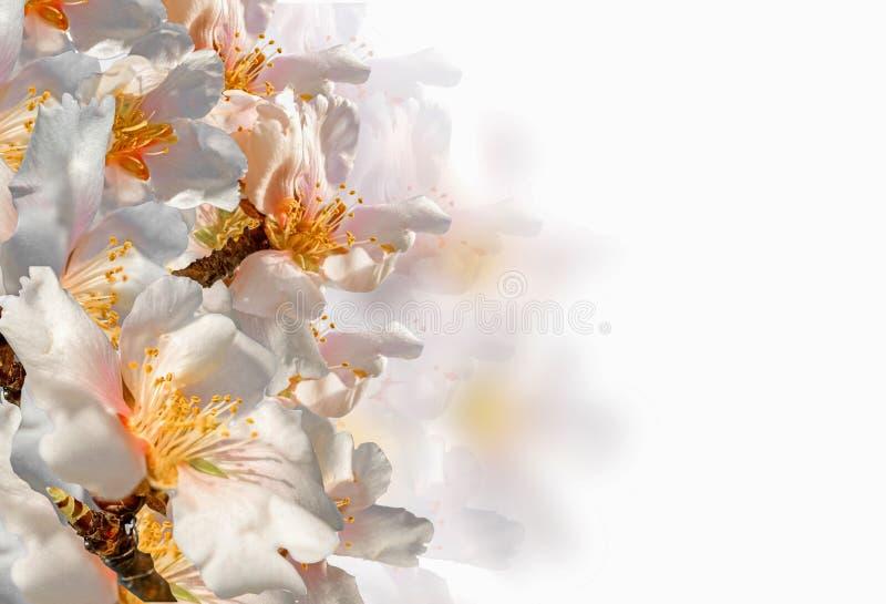 扁桃开花在白色隔绝的宏观春天背景 库存照片