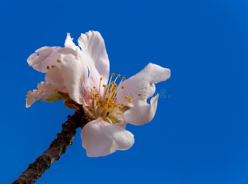 扁桃开花宏观春天背景蓝色 图库摄影