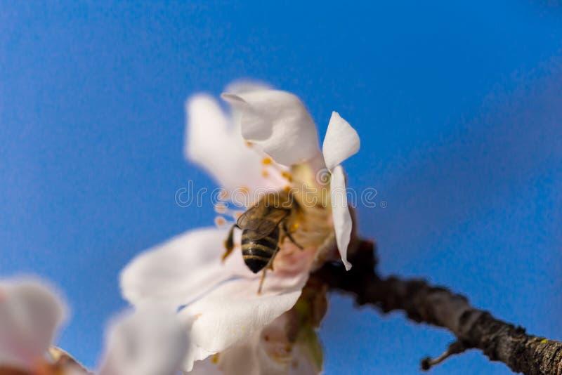 扁桃开花宏观春天背景蓝色 库存照片