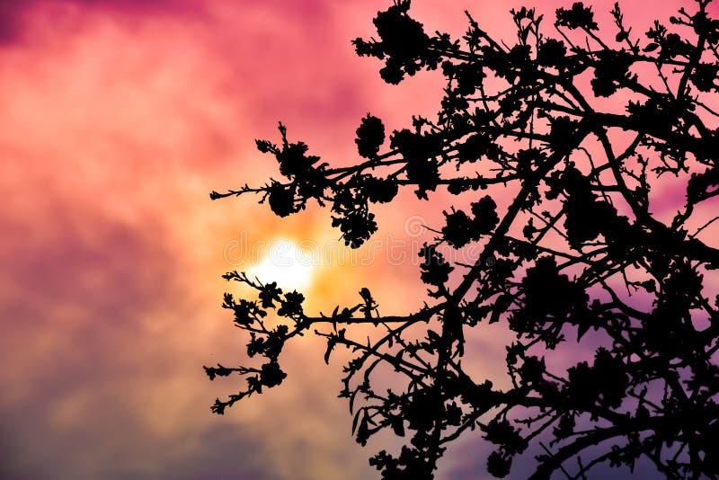 扁桃白色绽放,日落射击了 免版税库存照片
