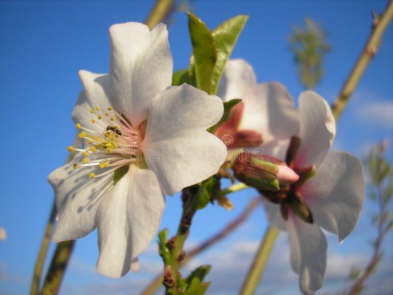 扁桃的花 下雨 库存照片