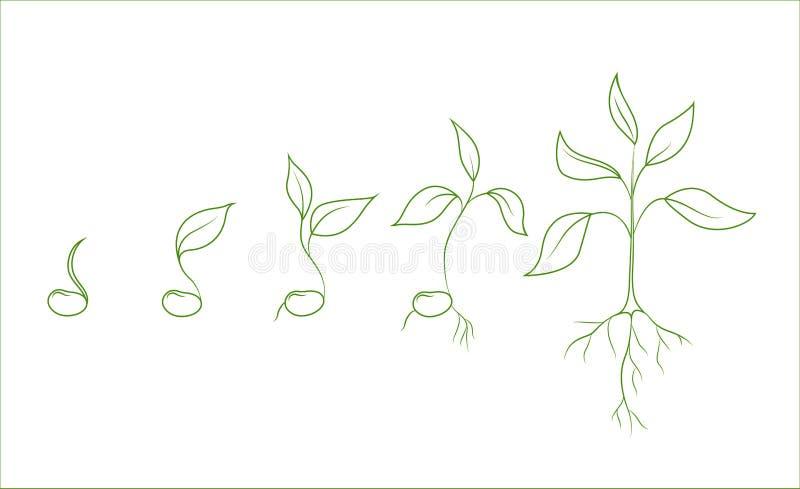 扁豆植物生长阶段 演变从种子到树苗 套在白色背景的被隔绝的概述传染图片