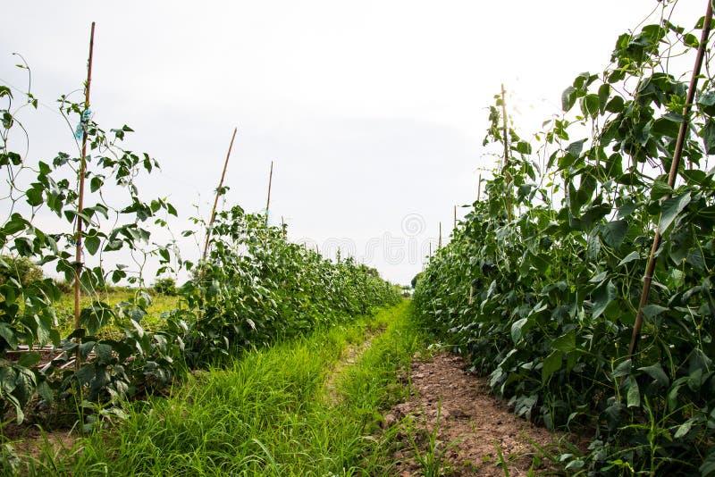 扁豆领域 免版税库存照片