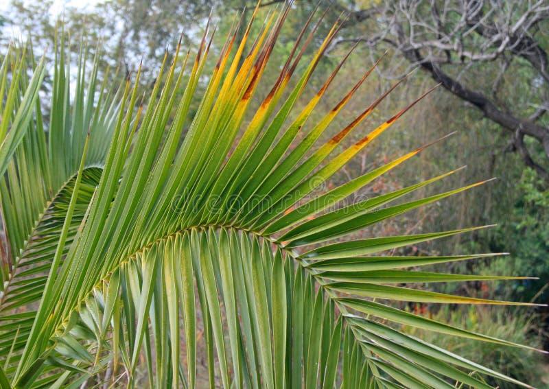 扇动与染黄的技巧的棕榈叶 免版税库存图片