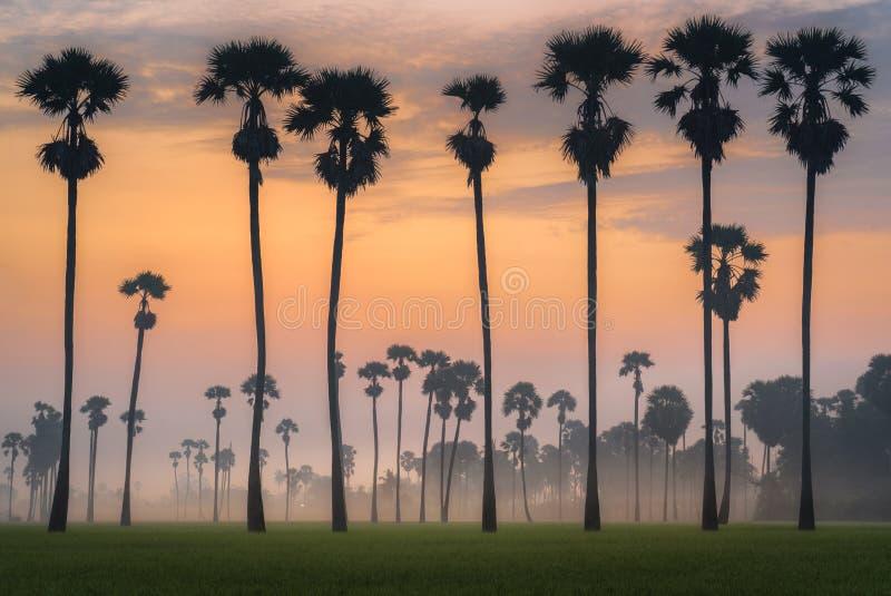 扇叶树头榈棕榈剪影  免版税库存照片