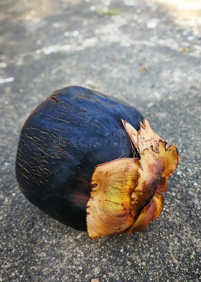 扇叶树头榈棕榈成熟果子  库存照片