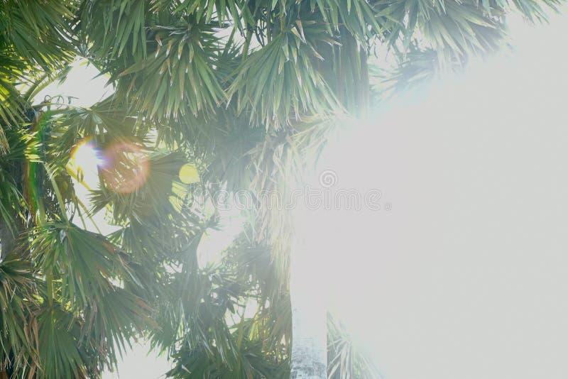 扇叶树头榈 免版税库存图片