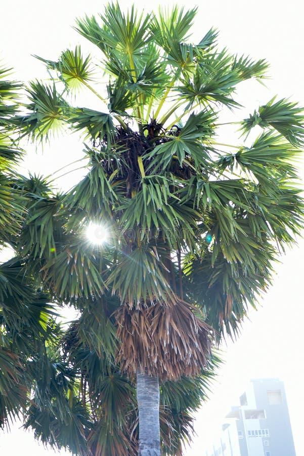 扇叶树头榈 免版税库存照片