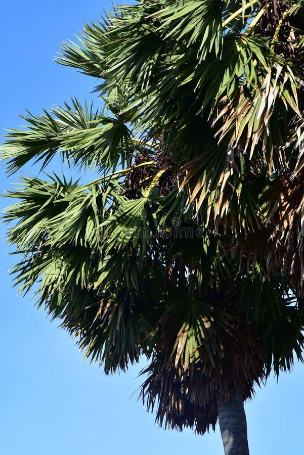 扇叶树头榈 库存图片