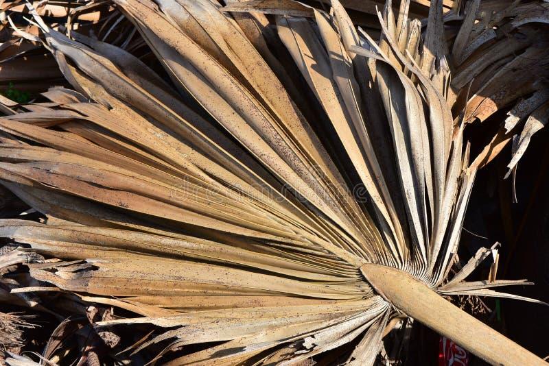 扇叶树头榈 图库摄影