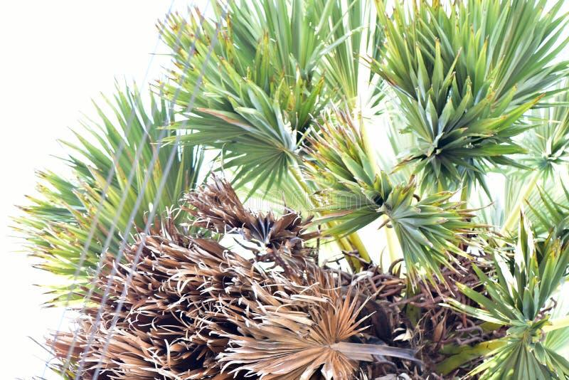 扇叶树头榈 库存照片