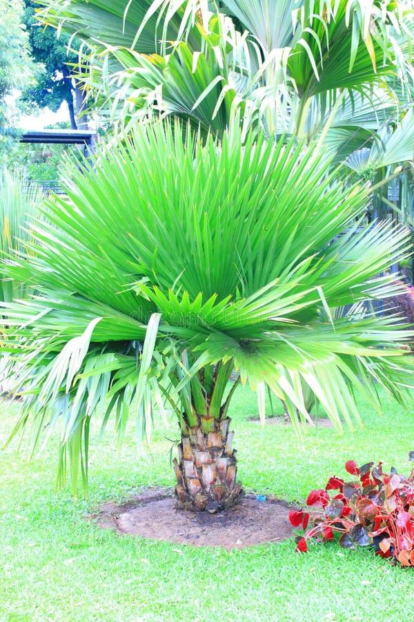 扇叶树头榈棕榈 库存照片