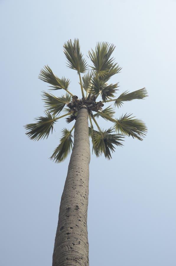 扇叶树头榈棕榈 库存图片