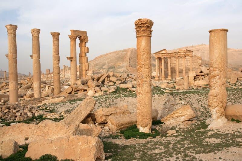 扇叶树头榈-叙利亚古城废墟  免版税库存图片