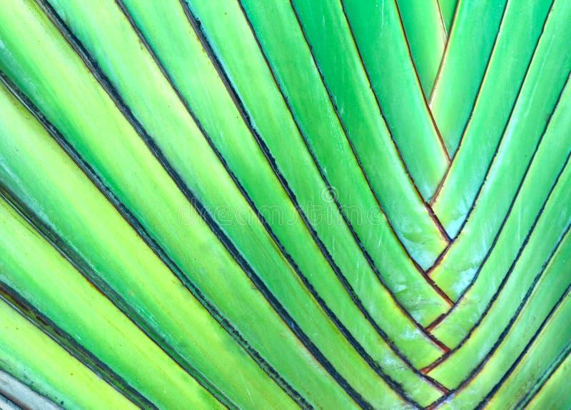 扇形棕榈、亦称旅行家的树或者Ravenala的绿色叶子 库存照片
