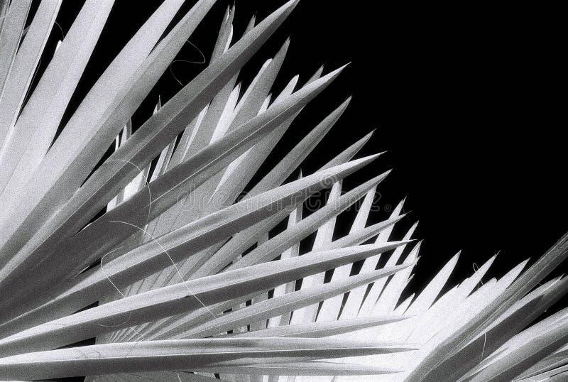 扇形棕榈 库存图片