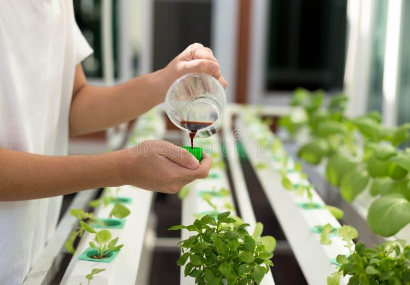 手与在有机水耕蔬菜栽培施肥  免版税图库摄影
