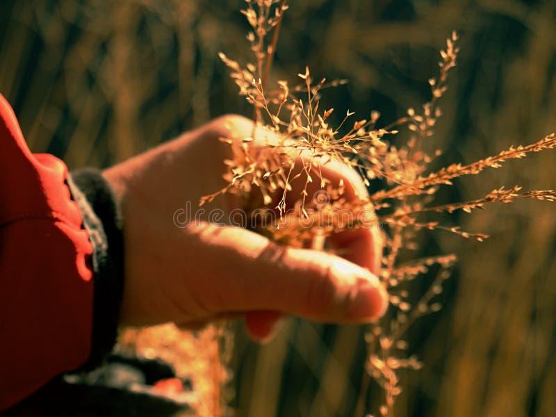 手举行干燥走路的金黄茎 女服夹克 库存图片