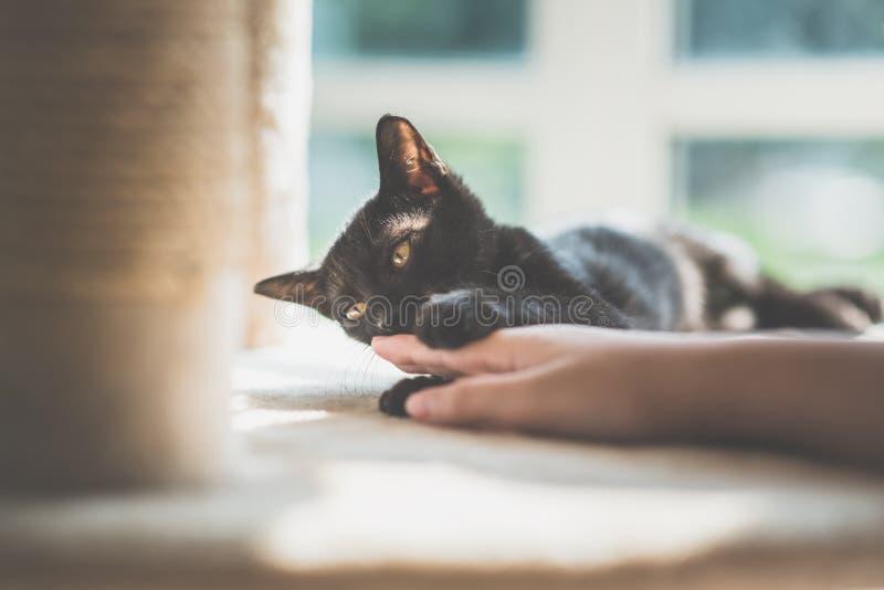 手使用与在猫twer的黑小猫 库存照片