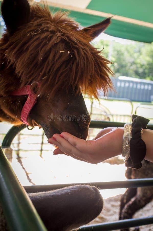 手哺养的行家骆马 免版税库存照片
