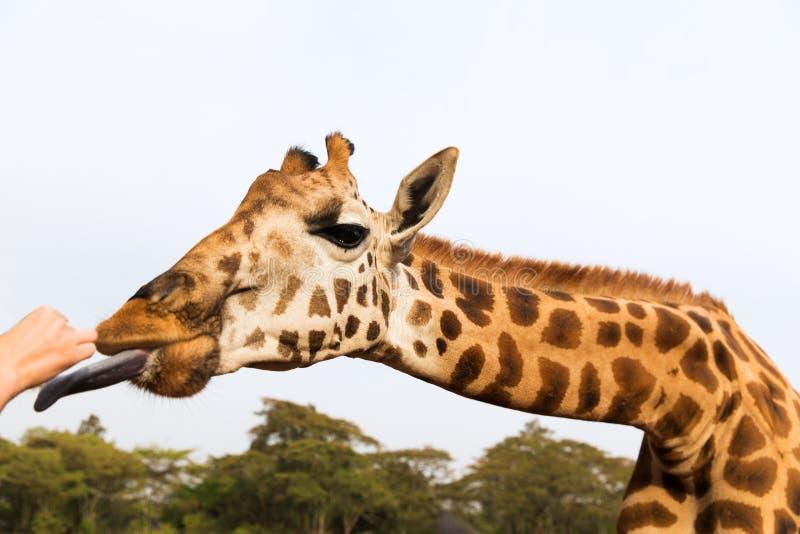 手哺养的长颈鹿在非洲 免版税库存照片