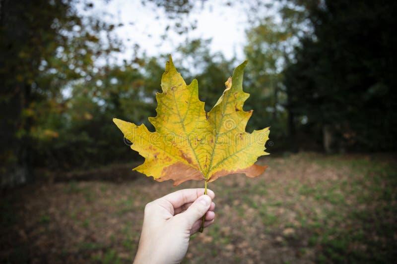 手在秋天的拿着一片槭树黄色叶子.图片