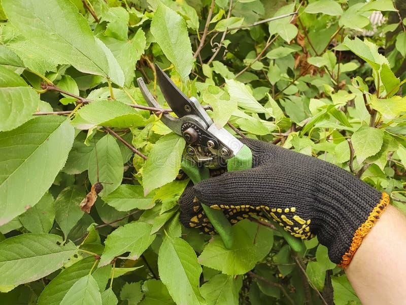 手套的手切开了室外分支季节性工作的庭院 库存图片