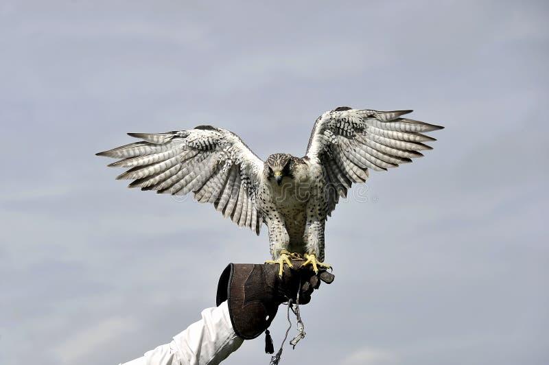手套的旅游猎鹰土地 免版税库存照片