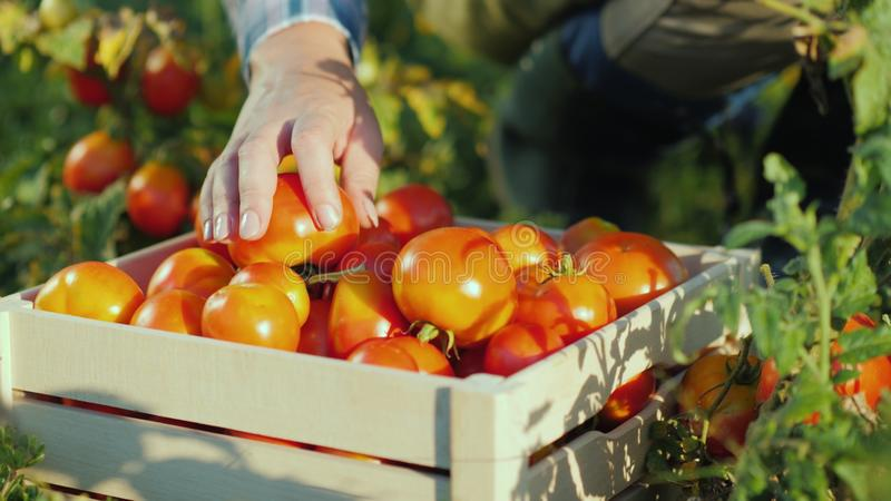 手工作者在箱子投入了蕃茄 收获在领域,有机产品 免版税库存图片