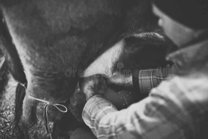 手工母牛挤奶 库存照片