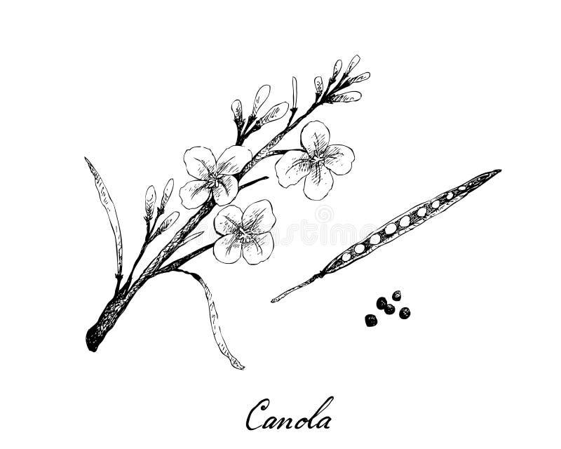 手拉油菜荚和种子 皇族释放例证