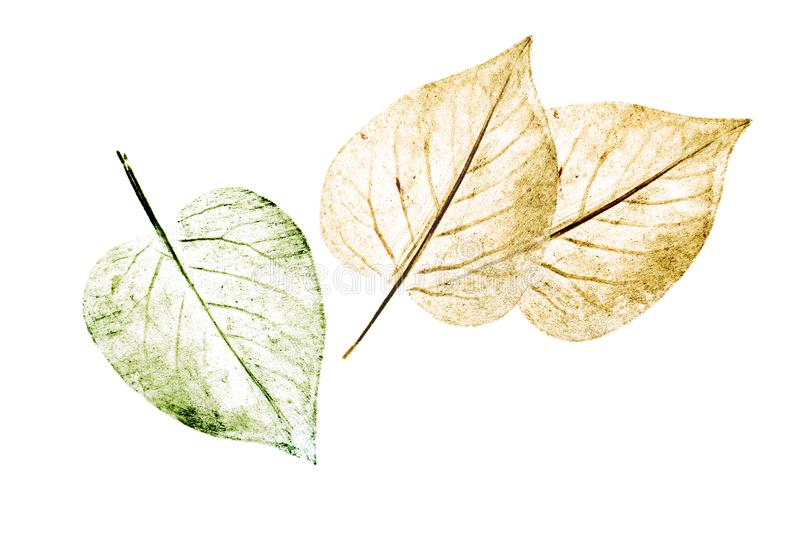 手拉由在白色背景隔绝的蜡笔植物的树叶子 自然元素,手画例证图片