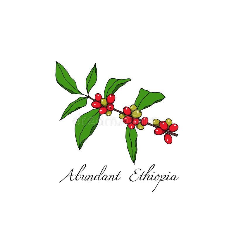手拉的咖啡属植物 皇族释放例证