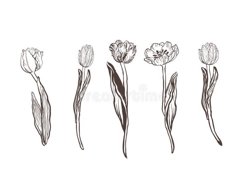 手拉的图表郁金香的汇集 花卉剪贴美术元素 分支、叶子和芽 皇族释放例证