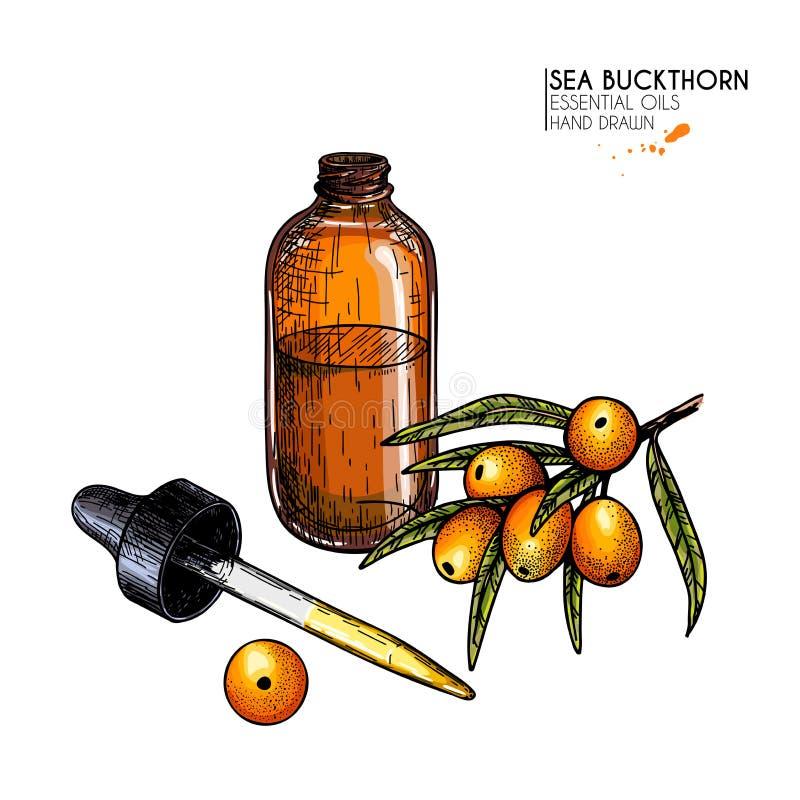 手拉的套精油 传染媒介海鼠李莓果 与玻璃吸管瓶的医药草本 刻记上色 库存例证
