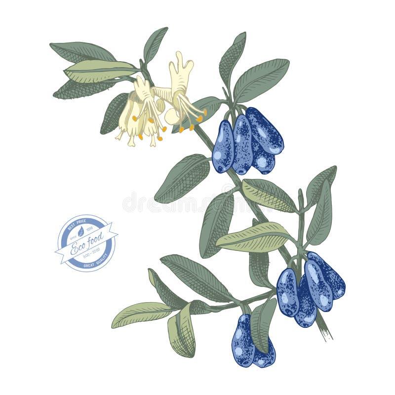 手拉的忍冬属植物分支 库存例证
