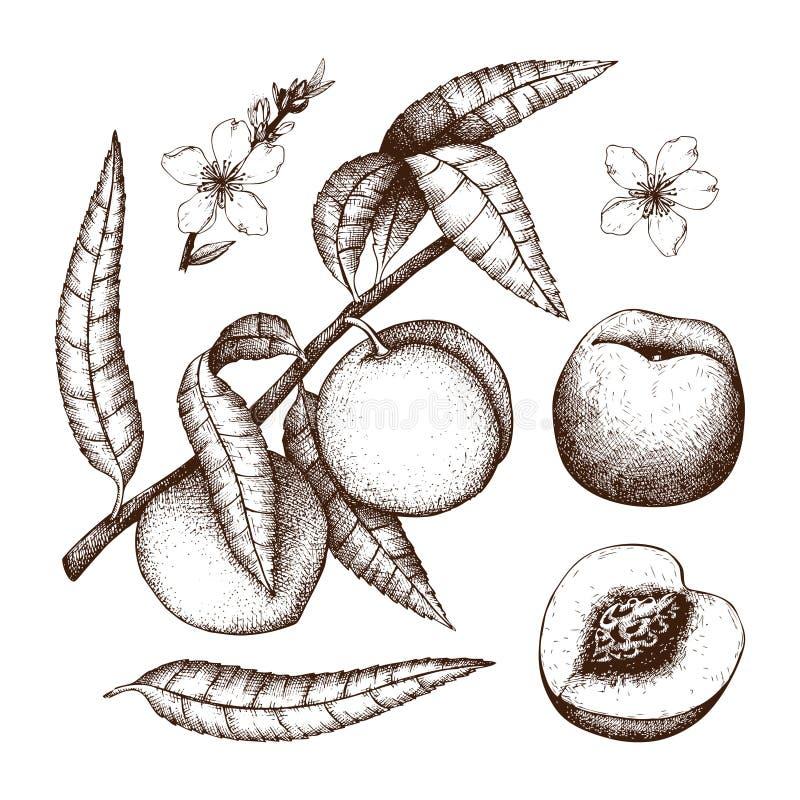 手拉的桃子剪影 传染媒介树图画用果子、叶子和花 在白色隔绝的植物的例证 有机foo 向量例证