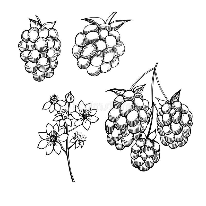 手拉的森林莓果 黑鹂 传染媒介剪影例证 皇族释放例证